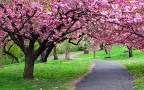 cherry blossems